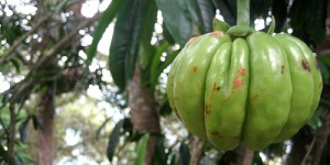 The side effects of Garcinia Cambogia